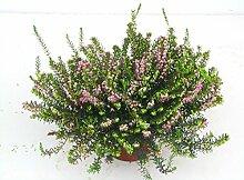Erica darleyensis - winterharte Erika rosa im 12 cm Topf