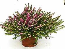 Erica darleyensis - winterharte Erika rot im 12 cm