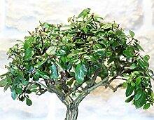 Escallonia bonsai tree (5)