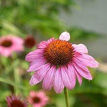 ESHOO Echinacea (Echinacea) Samen 300 Kapseln/Pack