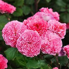 Essbare Culinaric Rose, rosa-apricot, im ca. 22