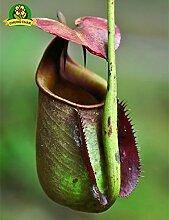 Essen Mosquito Fleischfressende Pflanzen Nepenthes Samen 200pcs / bag Tropische Kannenpflanze Fang Insekt Garten Bonsai Topf Easy Grow 2