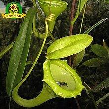 Essen Mosquito Fleischfressende Pflanzen Nepenthes Samen 200pcs / bag Tropische Kannenpflanze Fang Insekt Garten Bonsai Topf Easy Grow 9