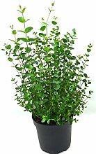Eukalyptus, frischer Eukalyptus-Strauch, Eukalyptus Baum, Eukalyptus Pflanze