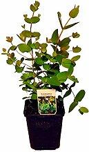 Eukalyptus gunii ca. 20-25cm, frischer Eukalyptus