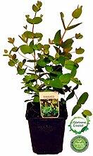 Eukalyptus Pflanze, frischer Eukalyptus-Strauch,Eukalyptus gunii frische Kräuter Pflanze !