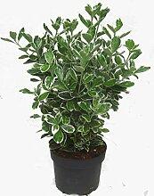 Euonymus japonicus 'Kathy' weiß-grüne