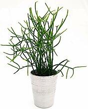 Euphorbia Tirkal aus Keramikvase, silberfarben,