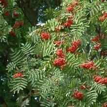 Europäische Eberesche Seeds (Sorbus aucuparia)