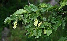 Europäische Hopfenbuche Ostrya carpinifolia