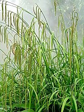 Evergreen Samen Paket: 5 n: Pendula Win- Garten