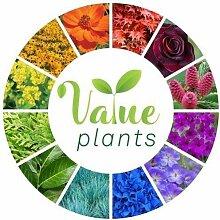 Evergreen Samen Paket: Cothus: Etablierte