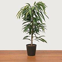 Zimmerpflanzen Schatten zimmerpflanzen shop günstig kaufen lionshome