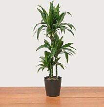 Evrgreen Drachenbaum Janet Craig 100 cm inkl. Topf