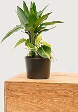 Evrgreen Drachenbaum Janet Lind 30-35 cm inkl.