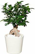 EVRGREEN Ficus Ginseng | Ginseng Bonsai |