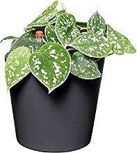 EVRGREEN Gefleckte Efeutute | | Zimmerpflanze in Hydrokultur | im Set inkl. Keramiktopf (anthrazit/schwarz) | scindapsus pictus