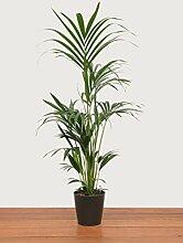 Evrgreen Kentiapalme 120 cm inkl. Topf in