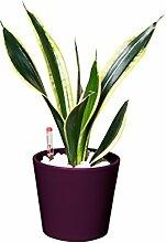 EVRGREEN | Zimmerpflanze Bogenhanf in Hydrokultur