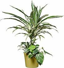 EVRGREEN | Zimmerpflanze Drachenbaum in