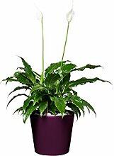 EVRGREEN |Zimmerpflanze Einblatt in Hydrokultur