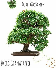 Exotische Bonsai Samen mit hoher Keimrate -