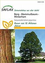 Exotische Samen - Berg - Mammutbaum von Saflax