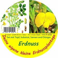 Exotische Samen - Garden to Go Erdnuss von Saflax