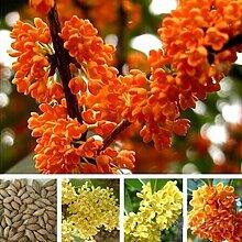 Exotische Süße Duftblüte Osmanthus Fragrans