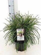 Faden-Lebensbaum - Thuja Plicata Whipcord - 40+cm