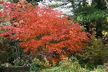Fächerahorn 'Aconitifolium' Acer