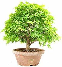 Fächerahorn, Ahorn palmatum kashima,