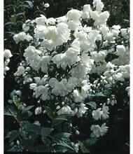 Falscher Jasmin 1 Pflanze