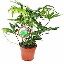 Falsches Cannabis – Falsches Marihuana