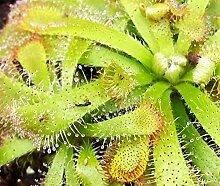 Fangblatt - Drosera Aliciae - rosettenartiger