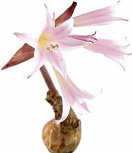 Fangblatt - echte Amaryllis Belladonna - XL