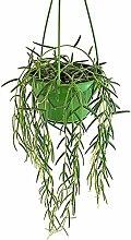 Fangblatt - Hoya linearis - hängende