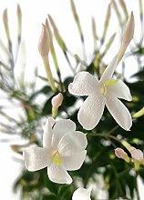 Fangblatt - Jasminum polyanthum - echter,