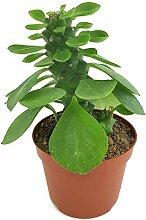 Fangblatt - Monadenium ritchiei -