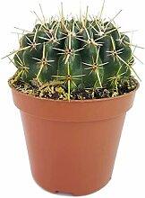 Fangblatt - Notocactus submammulosus (Parodia) -