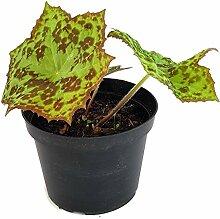 Fangblatt - Podophyllum cultorum 'Spotty