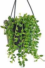 Fangblatt - Senecio rowleyanus - Erbsenpflanze -