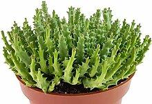 Fangblatt - Stapelia variegata - groß blühende