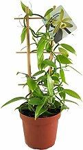 Fangblatt - Vanilla planifolia - die echte Vanille