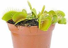 Fangblatt - Venusfliegenfalle - Dionaea Muscipula