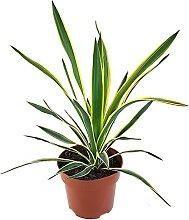 Fangblatt - Yucca gloriosa 'variegata' -