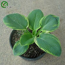 Fantastische Pflanzen Hosta Samen Blumentopf