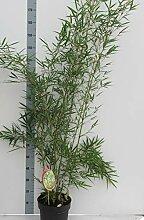 Fargesia robusta 'Campbell' Topf C10-10