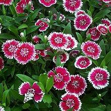 FarmenSamen 100 Stück Dianthus Barbatus