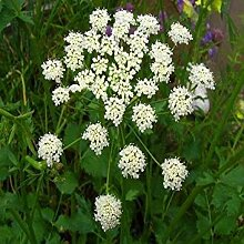 Farmerly 100+Seeds Anise Herb Seeds (Pimpinella